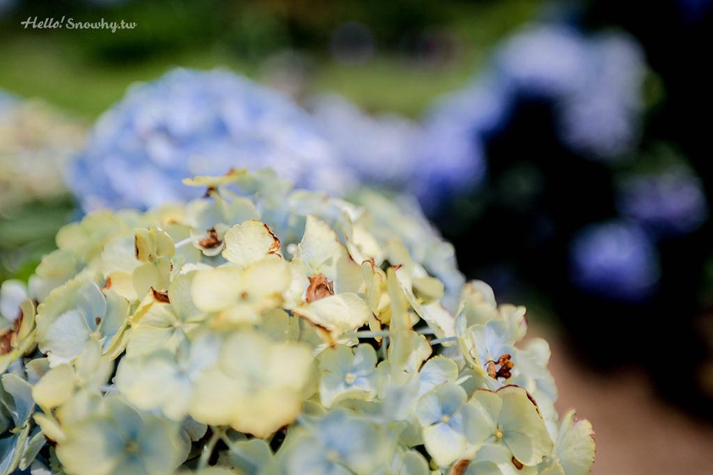 陽明山繡球花季,竹子湖,繡球花,高家繡球花田,繡球花海,陽明山,海芋