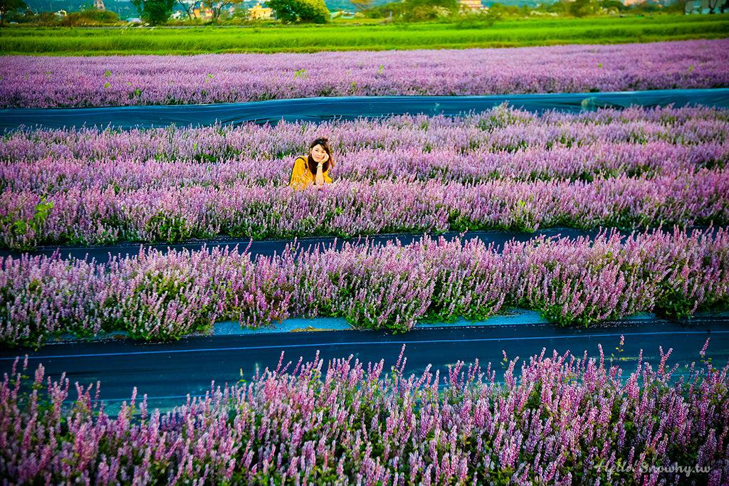 桃園花彩節.盛開的浪漫粉絲紫色仙草花海在楊梅