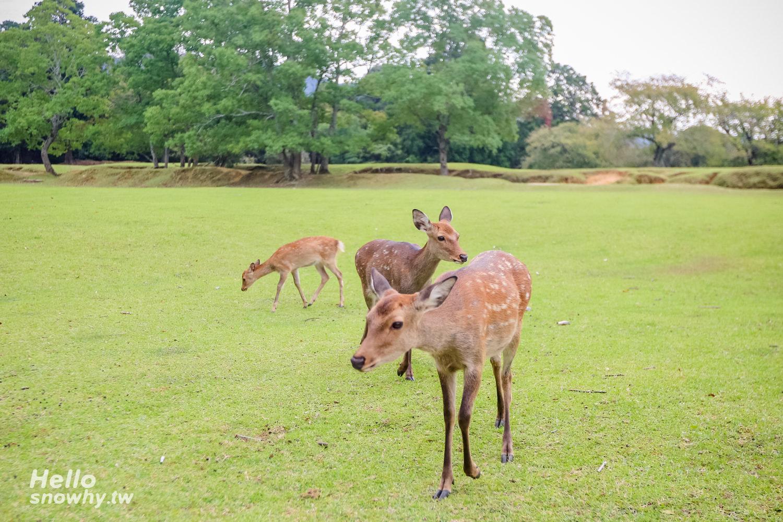 奈良公園,飛火野,春日大社,奈良與鹿玩耍,奈良餵鹿,奈良餵鹿小撇步,奈良小鹿,奈良景點,奈良自由行,奈良懶人包,日本奈良