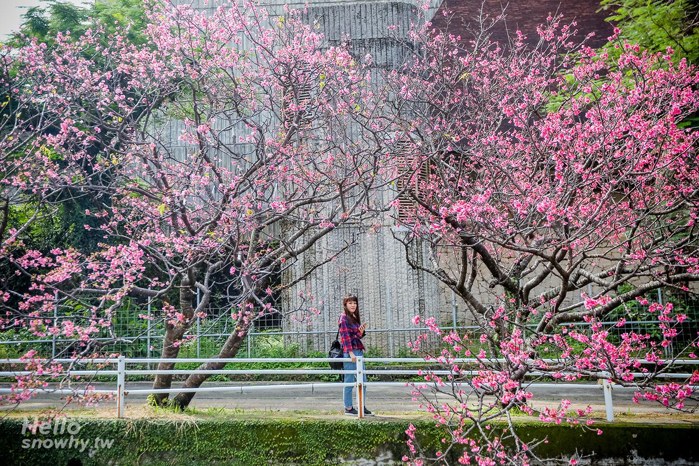沖繩1、2月就能賞櫻花?一起去看日本最早的沖繩櫻花祭!沖繩賞櫻情報/賞櫻景點